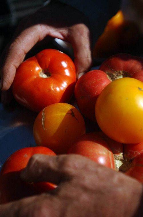 Leah Hogsten   The Salt Lake Tribune An archive photo of brandywine heirloom tomatoes, photographed in 2003.
