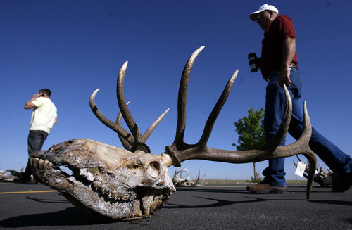Francisco Kjolseth  |  The Salt Lake Tribune A five-point elk joins several hundred sets of forfeited antlers displayed before auction on Tuesday, May 8, 2012, by the Utah Division of Wildlife Resources at the Lee Kay Shooting Center in Salt Lake City. In addition to the antlers, approximately five dozen forfeited bobcat hides and assorted cougar, fox, bear and bison hides and skulls were to be sold off.