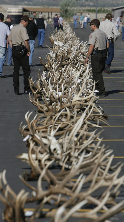 Francisco Kjolseth  |  The Salt Lake Tribune Several hundred sets of forfeited antlers are displayed before auction on Tuesday, May 8, 2012, by the Utah Division of Wildlife Resources at the Lee Kay Shooting Center in Salt Lake City. In addition to the antlers, approximately five dozen forfeited bobcat hides and assorted cougar, fox, bear and bison hides and skulls were to be sold off.
