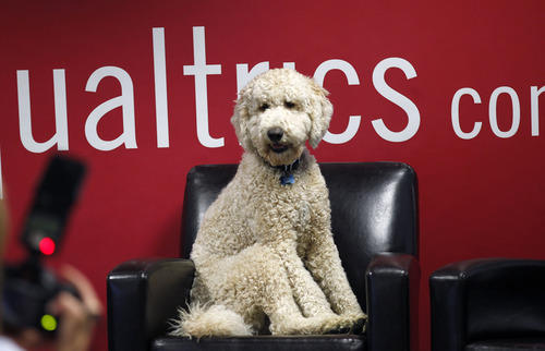 Al Hartmann  |  The Salt Lake Tribune Barnaby takes the seat of Qualtrics CEO Ryan Smith, before the start of a press conference Wedenesday in Provo. The gregarious pooch pretty much has the run of the company's office,  greeting employees and soaking up attention.