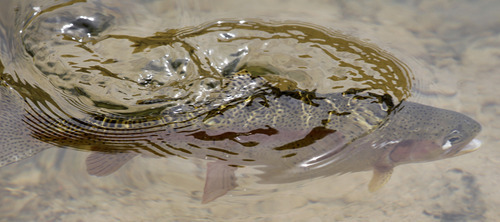 Al Hartmann  |  The Salt Lake Tribune  A rainbow trout feeds on the surface of the Green River.