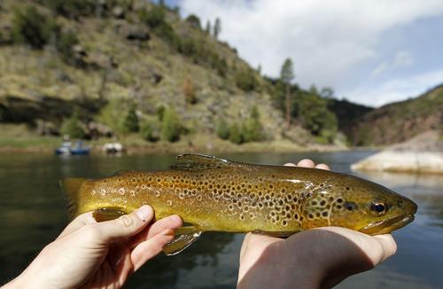 Al Hartmann  |  The Salt Lake Tribune  A brown trout landed on the Green River.