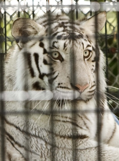 Leah Hogsten  |  The Salt Lake Tribune A White Bengal Tigers as seen from the Wild Kingdom Train ride at Lagoon Amusement Park, Saturday, June 2 2012 in Layton. Protesters lined Lagoon Drive in Layton  to protest Lagoon's treatment of animals in the park as seen from the Wild Kingdom Train ride that circles a zoo where big cats, zebras, and other animals are confined to small enclosures.