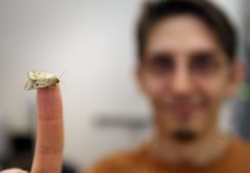 Rick Egan    The Salt Lake Tribune   Research by University of Utah biology doctoral candidate Jose Crespo, pictured here with a moth species known as corn ear worm, shows how odors affect pre-flight behavior of moths. Friday, June 1, 2012.