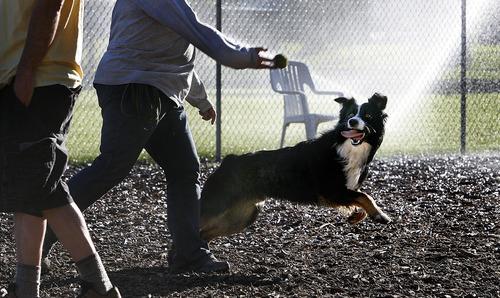 Scott Sommerdorf  |  The Salt Lake Tribune              Uschi Gerschner throws a ball to her dog Calvin at the Dog Park at Herman Franks Park, Monday, June 11, 2012.