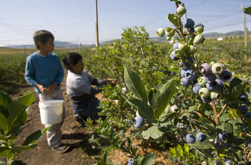 Tribune file photo Workers pick berries at the Week's Berry Farm in Paradise in the Cache Valley. Guests can tour the farm Mondays and Fridays  through October.