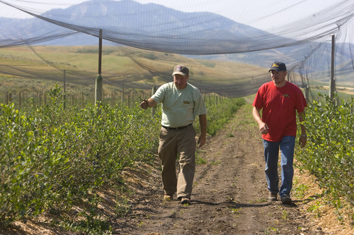 Tribune file photo Mervin Weeks, left, and his son, Jarrod, walk through the berry fields on their Cache Valley Farm. Guests can tour the farm Mondays and Fridays now through October.