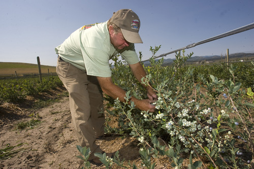 Tribune file photo Mervin Weeks picks berries at his Cache Valley berry farm. Guests can tour the farm Mondays and Friday now through October.