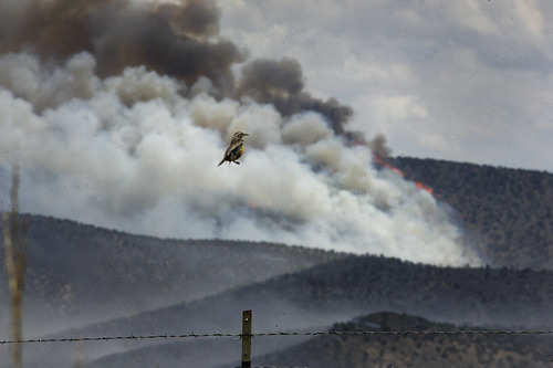 Scott Sommerdorf  |  The Salt Lake Tribune              A bird jumps up off its fencepost perch as it flies away with the brush fire near Fountain Green burning in the background, Sunday, June 24, 2012.