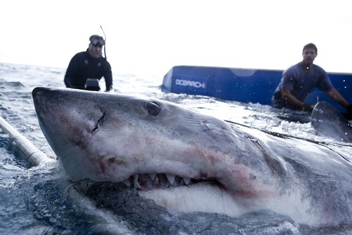 Chris Fischer, right, wrangles a great white shark with a member of his crew. Credit: History Channel
