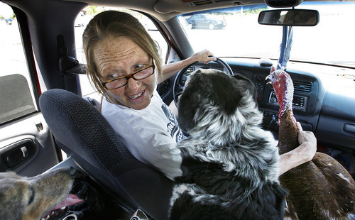Scott Sommerdorf  |  The Salt Lake Tribune              While stopped at a traffic light, Faith Ching looks back at her cargo of four dogs, one pot-bellied pig and a turkey that she is driving back to her property in Herriman, Sunday, July 1, 2012. Officials expected the area to be declared 100 percent out by Sunday night after hot spots were doused.