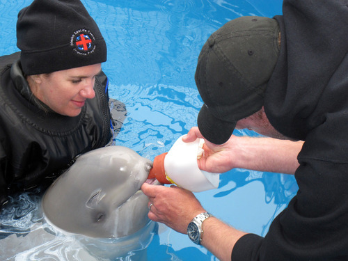 This photo taken July 4, 2012, at the Alaska SeaLife Center in Seward, Alaska, shows Elizabeth Davis from the Shedd Aquarium in Chicago, left, and Dennis Christen of the Georgia Aquarium feed a bottle to a baby beluga calf being rehabilitated at the center. The whale was approximately two days old when it was found in Bristol Bay, Alaska, and separated from its mother. Staff from the Alaska SeaLife Center is receiving help with the whale's care from the Georgia Aquarium in Atlanta, Shedd Aquarium in ChiCago and SeaWord in San Diego.. (AP Photo/Mark Thiessen)