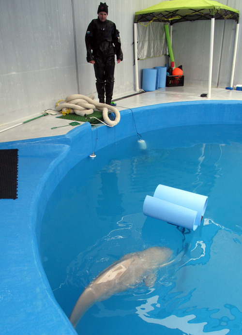 This photo taken July 4, 2012, at the Alaska SeaLife Center in Seward, Alaska, shows Elizabeth Davis from the Shedd Aquarium in Chicago keeping an eye on a baby beluga calf being rehabilitated at the center. The whale was approximately two days old when it was found in Bristol Bay, Alaska, and separated from its mother. Staff from the Alaska SeaLife Center is receiving help with the whale's care from the Georgia Aquarium in Atlanta, Shedd Aquarium in ChiCago and SeaWord in San Diego.  (AP Photo/Mark Thiessen)