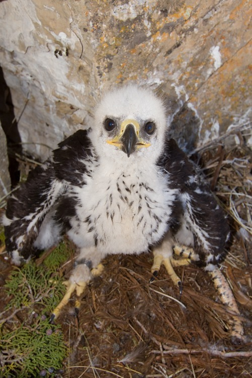 Courtesy Kent Keller  Kent Keller, who has been banding golden eagles as a volunteer and providing reports to the Utah Division of Wildlife Resources for 34 years, found this baby eagle earlier this year west of Utah Lake and banded it. Now 70 days old, it was feared lost when the Dump Fire burnt its nest to a crisp. But when Keller went to document the loss of the nest, he found the raptor hiding under a juniper tree.