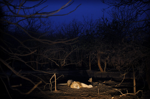 In this Saturday, March 24, 2012 photo, a lion rests early in the morning at the Gir Sanctuary in the western Indian state of Gujarat, India. Nurtured back to about 400 from less than 50 a century ago, these wild Asiatic lions are the last of a species that once roamed from Morocco and Greece to the eastern reaches of India. The subject of saving lions is an emotional one in India. The lion also holds iconic status in religions and cultures. The multi-armed Hindu warrior goddess Durga is traditionally shown with a lion as her mount. Four lions make the national emblem - symbolizing power, courage, pride and confidence. (AP Photo/Rajanish Kakade)