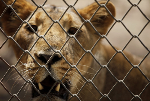In this March 26, 2012 photo, a lioness looks through a protective fence at the Gir Sanctuary in the western Indian state of Gujarat, India. Nurtured back to about 400 from less than 50 a century ago, these wild Asiatic lions are the last of a species that once roamed from Morocco and Greece to the eastern reaches of India. But the lions' precarious return is in jeopardy. Experts warn that crowded together in the park, they are more vulnerable to disease and natural disaster. There is little new territory for young males to claim, increasing chances for inbreeding, territorial conflict or males killing the young. (AP Photo/Rajanish Kakade)