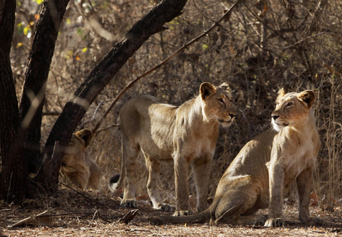 This March 24, 2012 photo shows lionesses at the Gir Sanctuary in the western Indian state of Gujarat, India. Nurtured back to about 400 from less than 50 a century ago, these wild Asiatic lions are the last of a species that once roamed from Morocco and Greece to the eastern reaches of India. The subject of saving lions is an emotional one in India. The lion also holds iconic status in religions and cultures. The multi-armed Hindu warrior goddess Durga is traditionally shown with a lion as her mount. Four lions make the national emblem - symbolizing power, courage, pride and confidence. (AP Photo/Rajanish Kakade)