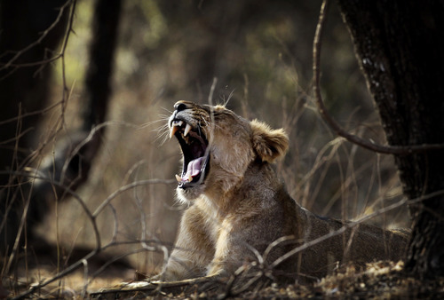In this March 24, 2012 photo, a lioness yawns at the Gir Sanctuary in the western Indian state of Gujarat, India. Nurtured back to about 400 from less than 50 a century ago, these wild Asiatic lions are the last of a species that once roamed from Morocco and Greece to the eastern reaches of India. The subject of saving lions is an emotional one in India. The lion also holds iconic status in religions and cultures. The multi-armed Hindu warrior goddess Durga is traditionally shown with a lion as her mount. Four lions make the national emblem - symbolizing power, courage, pride and confidence. (AP Photo/Rajanish Kakade)