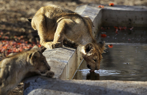 In this March 25, 2012 photo, a lioness drinks water at the Gir Sanctuary in the western Indian state of Gujarat, India. Nurtured back to about 400 from less than 50 a century ago, these wild Asiatic lions are the last of a species that once roamed from Morocco and Greece to the eastern reaches of India. The subject of saving lions is an emotional one in India. The lion also holds iconic status in religions and cultures. The multi-armed Hindu warrior goddess Durga is traditionally shown with a lion as her mount. Four lions make the national emblem - symbolizing power, courage, pride and confidence. (AP Photo/Rajanish Kakade)