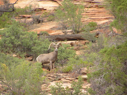 Desert bighorn sheep were extirpated by humans from the area that eventually became Zion National Park. The native species was reintroduced to the park in 1973. The small population eventually disappeared and officials thought they had died. But the herd has become more and more visible in the southeastern part of the park. National Park Service photo