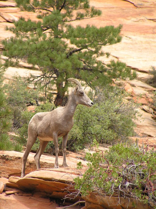 Desert bighorn sheep were extripated by humans from the area that eventually became Zion National Park. The native species was reintroduced to the park in 1973. The small population eventually disappeared and officials thought they had died. But the herd has become more and more visible in the southeastern part of the park. National Park Service photo