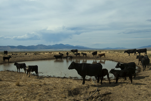 Chris Detrick  |  The Salt Lake Tribune Cattle near a small pond in the southern part of Rush Valley Thursday July 12, 2012. Sixteen drought-stricken Utah counties are among more than 1,000 in 26 states that have been declared natural-disaster areas, the biggest such declaration ever by the U.S. Department of Agriculture.