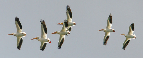 Steve Griffin | The Salt Lake Tribune White pelicans catch updrafts as they glide above Echo Reservoir near Coalville on Monday, July 16, 2012.