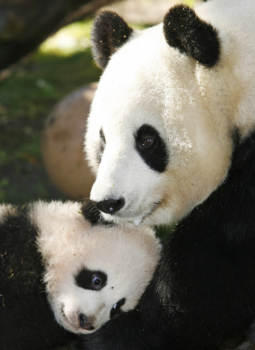 FILE - In a Dec. 21, 2007 file photo four-month-old giant panda cub Zhen Zhen, left, leans against mother Bai Yun, right, in their enclosure at the San Diego Zoo during a media preview in San Diego.  San Diego Zoo officials Sunday July 29, 2012 announced that the 20-year-old Bai Yun has given birth to her sixth cub at the zoo. (AP Photo/Denis Poroy/file)