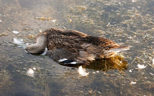 Trent Nelson     The Salt Lake Tribune A number of dead waterfowl were found in the pond at Sugar House Park over the weekend. Salt Lake County health officials said the cause was avian botulism, which poses no threat to humans.