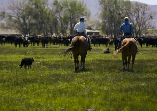 File  |  The Salt Lake Tribune  From left, ranch dog Heidi, Clayton Baker, 15, and his father Dave Baker tend to some of the 2,000 head of cattle on Dean Baker's 12,000 acres in the Snake Valley in this 2008 photo. Residents and ranchers in the Snake Valley, which straddles the Utah/Nevada line, have long been concerned about a plan to pipe water from an aquifer under the valley to Las Vegas.  Federal land managers on Friday gave the thumb's up to a piping plan, but excluded the Snake Valley.