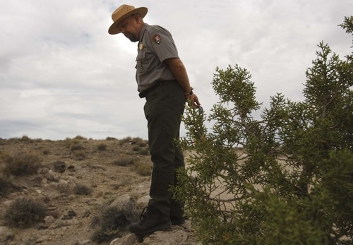 Leah Hogsten  |  The Salt Lake Tribune  Dave Worthington, resources management and science chief at Capitol Reef National Park, hunts for two endangered cactus: the Winkler cactus and Wright fish hook cactus. Worthingon says it