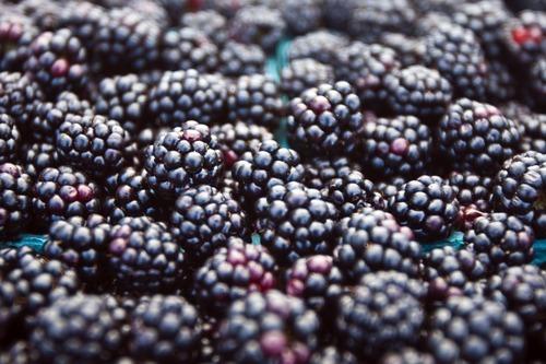 Chris Detrick  |  The Salt Lake Tribune   Blackberries are thriving in Utah thanks to a hot and arid season.