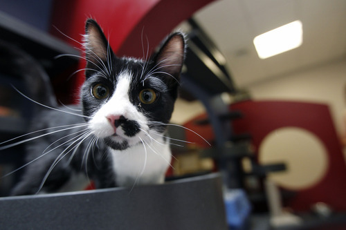 Al Hartmann     The Salt Lake Tribune Young cat explores the surroundings in his new temporary home in one of the four