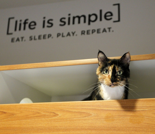 Al Hartmann     The Salt Lake Tribune Cat pops it head out from a high shelf in one of 16 new