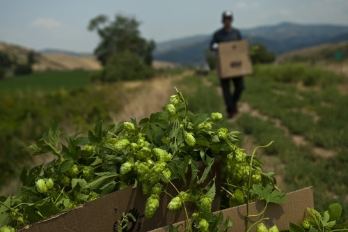 Chris Detrick  |  The Salt Lake Tribune Colby Frazier, brewer at Desert Edge Pub, hunts for wild hops in Summit County on Aug. 14, 2012.