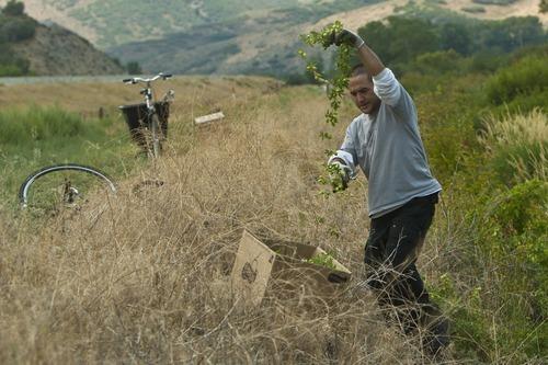Chris Detrick  |  The Salt Lake Tribune Brad Ledbetter hunts for wild hops for Desert Edge Pub in Summit County on Aug. 14, 2012.