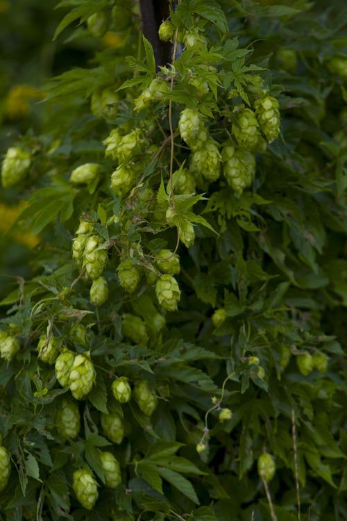 Chris Detrick  |  The Salt Lake Tribune Wild hops growing in Summit County.