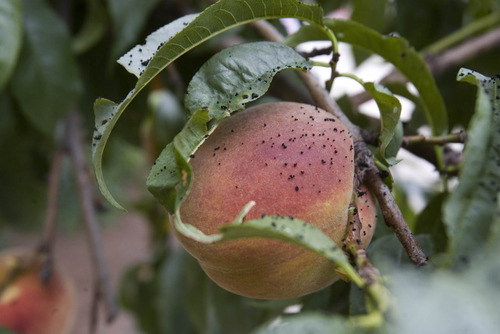 Paul Fraughton | The Salt Lake Tribune A peach tree shows  the effects  Friday, Aug. 31, 2012, of oil that spewed from a ruptured storage at a nearby refinery.
