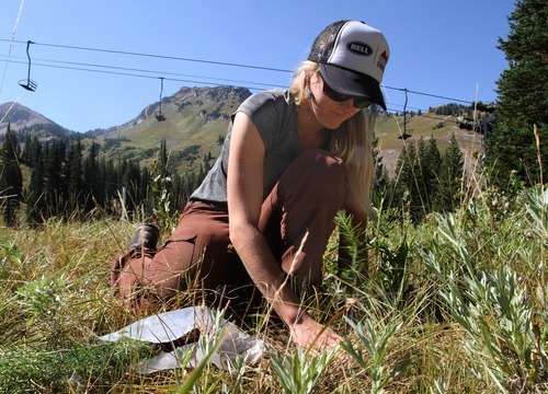 Rick Egan  |  The Salt Lake Tribune  Volunteer Ileana Anderson of Park City plants a tree at Alta Ski Area on Saturday. More than 50 volunteers helped Tree Utah and the Alta Environmental Center plant 1,800 plants and trees.