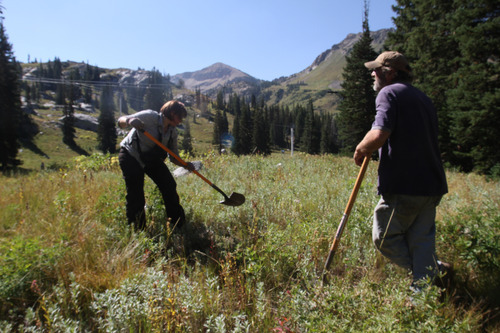 Rick Egan  |  The Salt Lake Tribune  Alex Porpora, left, of Tree Utah and Creighton Hart dig a hold to plant a tree at Alta Ski Area on Saturday.  More than 50 volunteers helped Tree Utah and the Alta Environmental Center plant 1,800 plants and trees.