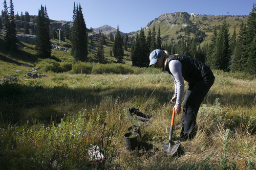 Rick Egan  | The Salt Lake Tribune   Amy Collins, Tree Utah, plants  a tree at Alta ski resort, Saturday, September 8, 2012.  More than 50 volunteers helped Tree Utah and the Alta Environmental Center plant 1,800 plants and trees.