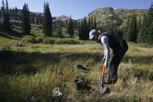 Rick Egan  | The Salt Lake Tribune   Amy Collins, Tree Utah, plants  a tree at Alta ski resort, Saturday, September 8, 2012.  More than 50 volunteers helped Tree Utah and the Alta Environmental Center plant 1,800 plants and trees.