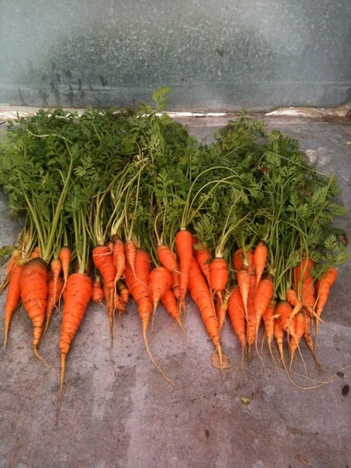 Carrots are a good cool weather crop to grow in Utah. Courtesy Wasatch Community Gardens