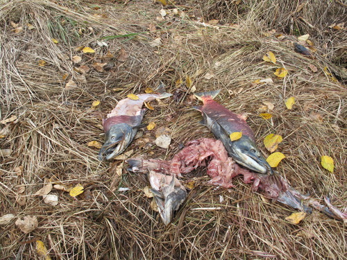 Piles of partially consumed salmon littered the banks of Talachulitna Creek as anglers from Tordrillo Mountain Lodge rafted it in early September. |Brett Prettyman