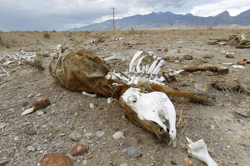 Al Hartmann     The Salt Lake Tribune Cow carcass lies in the desert near Callao, Utah in September 2012. Ranching and farming is a challenge in this dry environment even in normal years.  Western Utah has experienced the driest 12 months in history this year despite the monsoonal rain in July and August.  It has affected farmers, ranchers and wildlife.