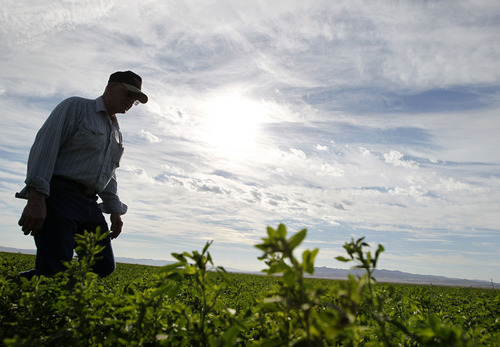Al Hartmann  |  The Salt Lake Tribune Dean Baker, 72, walks through one of his well-watered fields of alfalfa near the Utah-Nevada state line. Baker and his sons feel lucky they have well water that can be pumped to keep their alfalfa, barley, wheat and corn alive. But even they had to cope with the worst drought on record -- leaving whole areas of cropland fallow.