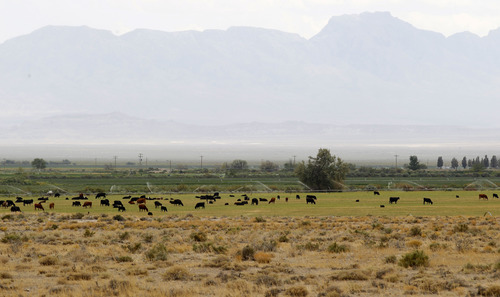 Al Hartmann    The Salt Lake Tribune Cattle graze in a green field in Callao, sandwiched between stretches fo brown, dry desert along the Utah-Nevada state line. Many areas have been stricken with drought but western Utah has been among the hardest hit -- recording the driest 12 months in history. Ranchers, farmers, livestock and wildlife all are struggling to survive the relentless drought.