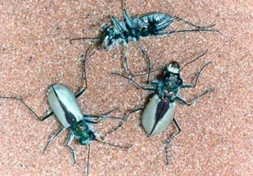 Courtesy photo The U.S. Fish and Wildlife Service has proposed listing the Coral Pink Sand Dunes tiger beetle as threatened, under the Endangered Species Act. The only place the Coral Pink Sand Dunes Tiger Beetle is found is near the sand dunes on the Utah-Arizona border west of Kanab in Kane County.