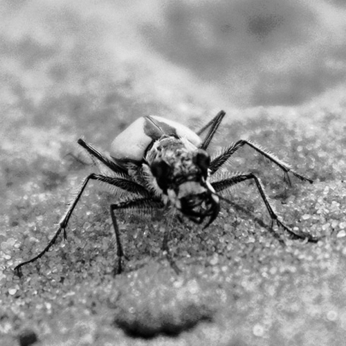 The U.S. Fish and Wildlife Service has proposed listing the Coral Pink Sand Dunes tiger beetle as threatened, under the Endangered Species Act. Courtesy photo from the Center for Biological Diversity
