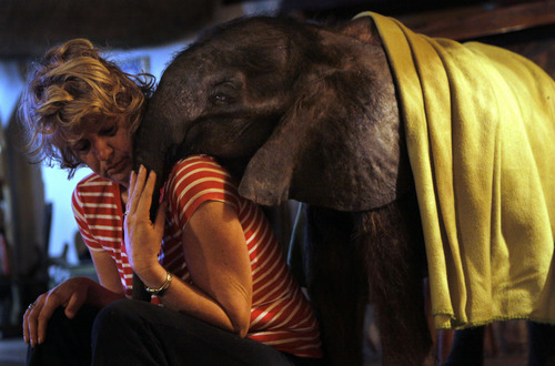 In this photo taken Tuesday Oct. 9, 2012 seven-and-a-half month old orphaned elephant calf named Moses cuddles with his adoptive